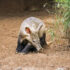 Porco formigueiro / aadvark